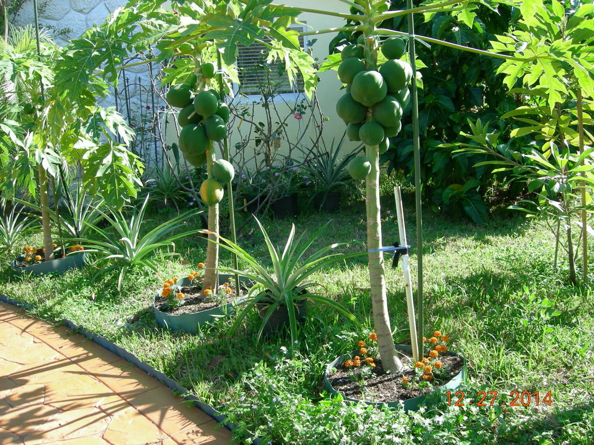 Мушмула выращивание в домашних условиях