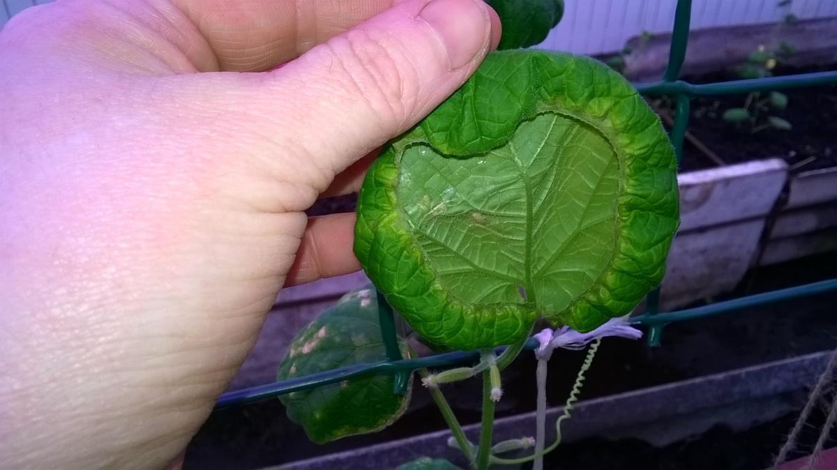 Огурцы рассада листья скручиваются 25