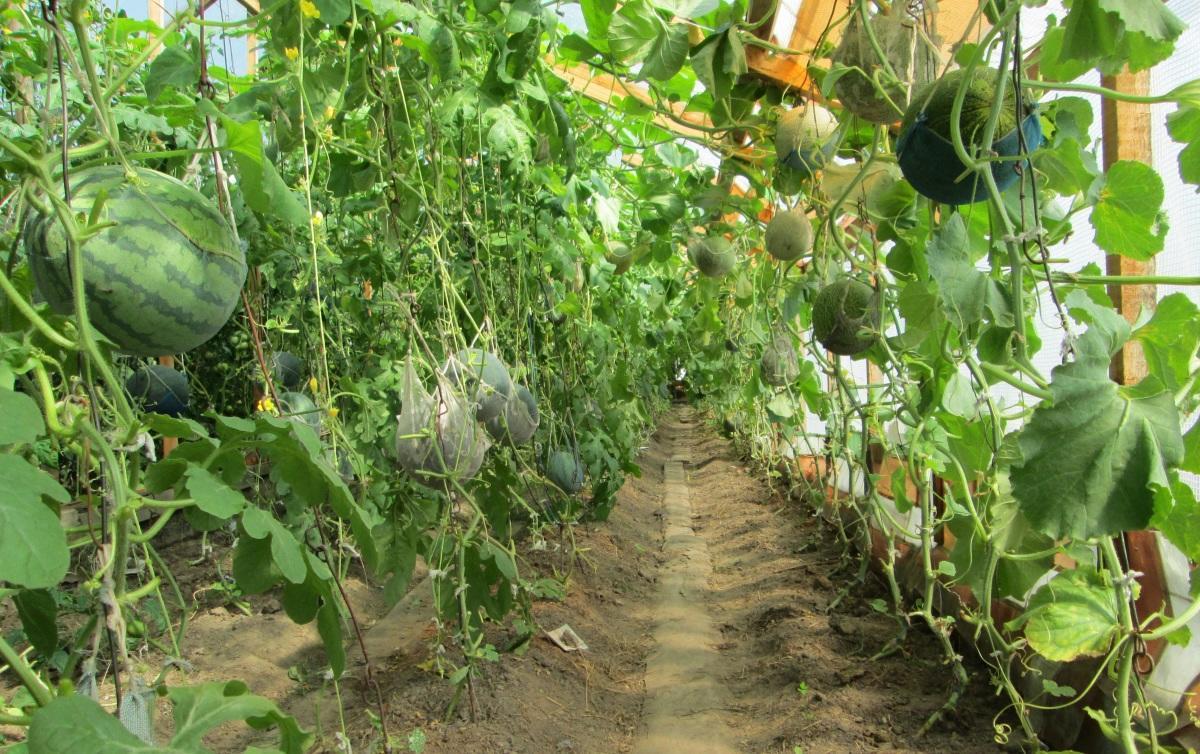 Выращивание дыни в закрытом грунте 18