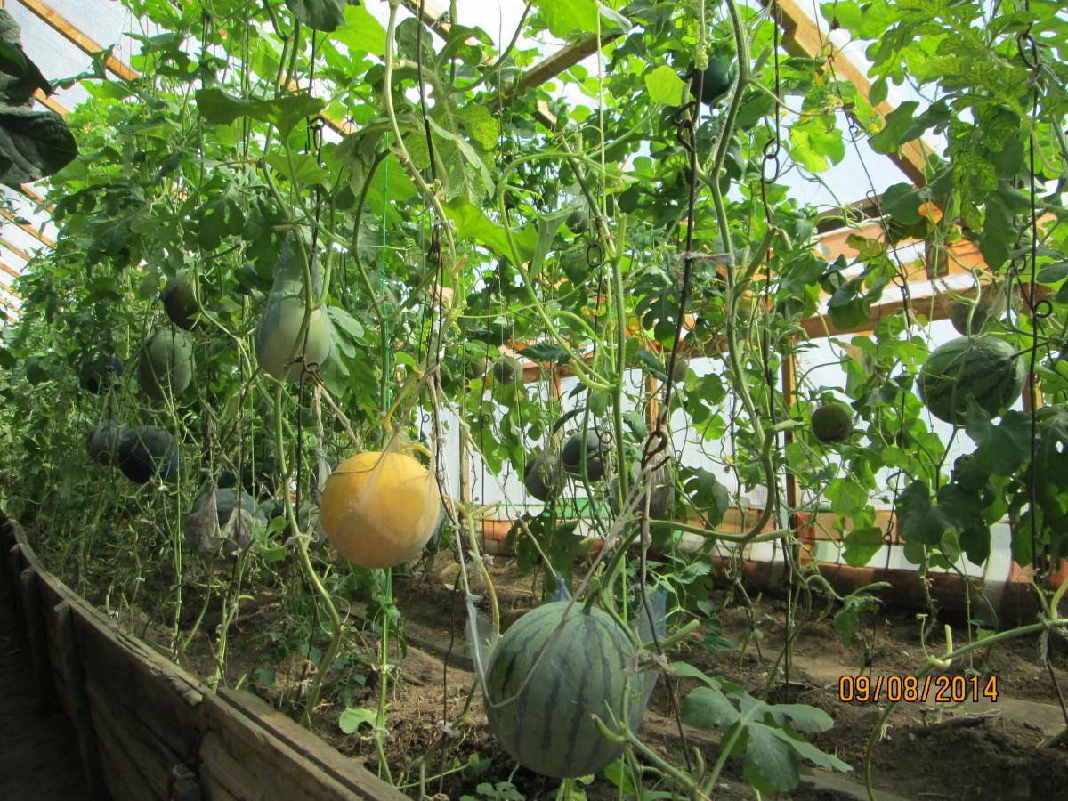 Когда и как сажать арбузы на рассаду 259