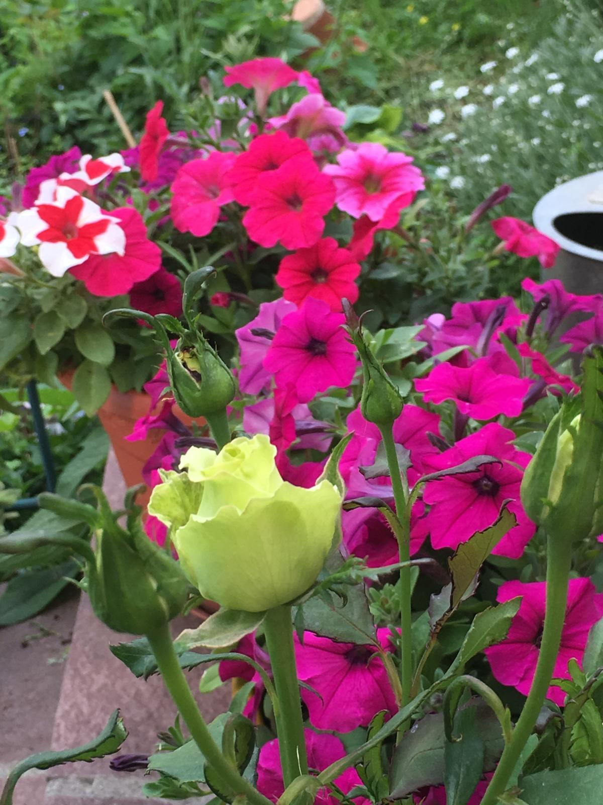 Цветы петуния выращивание фото