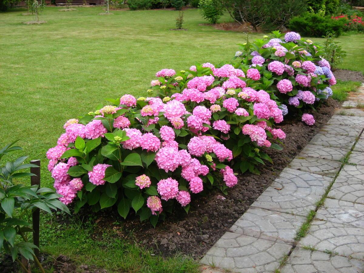 Сажаем гортензию розовую 61