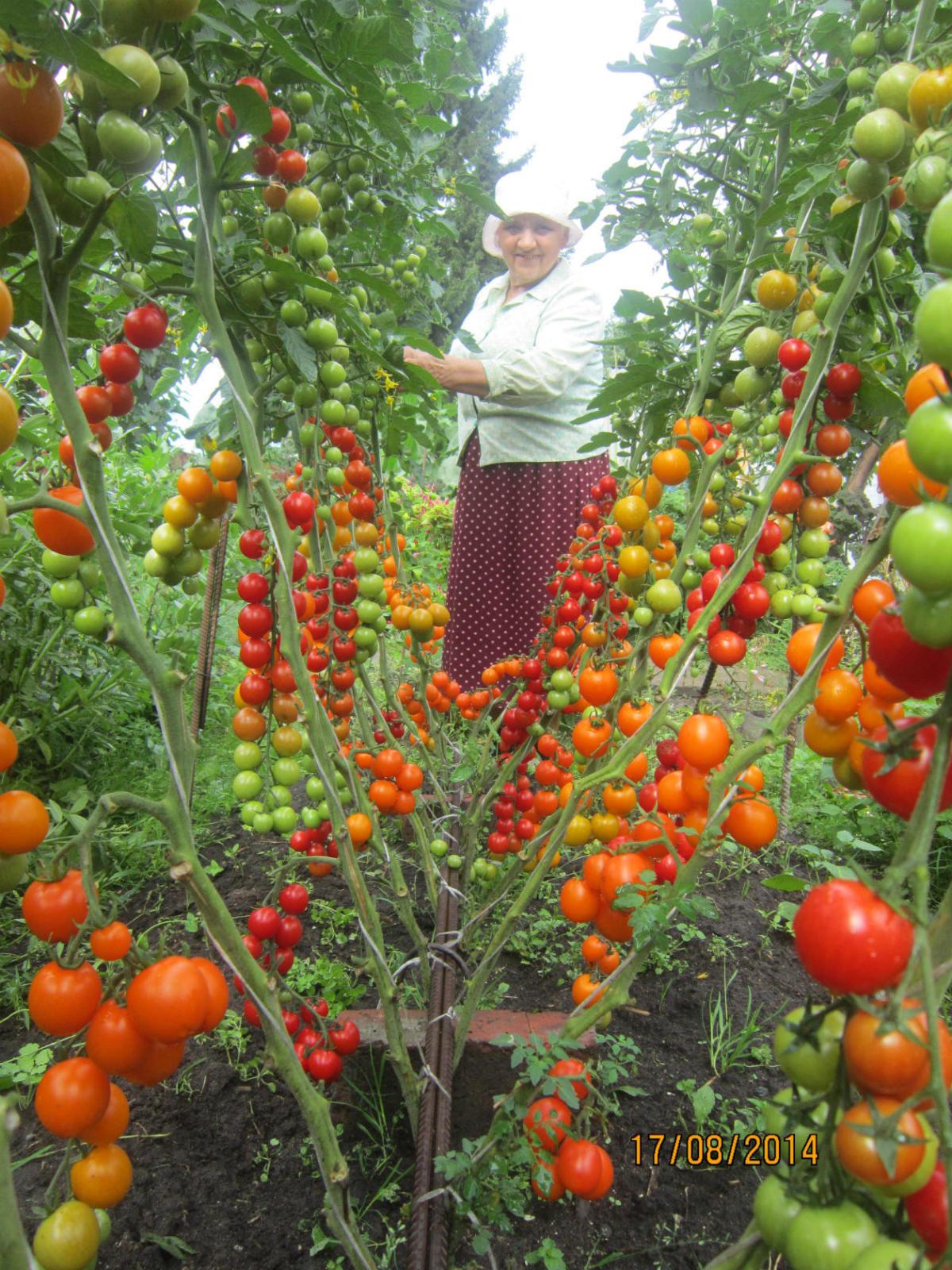 Когда сажают помидоры черри 9