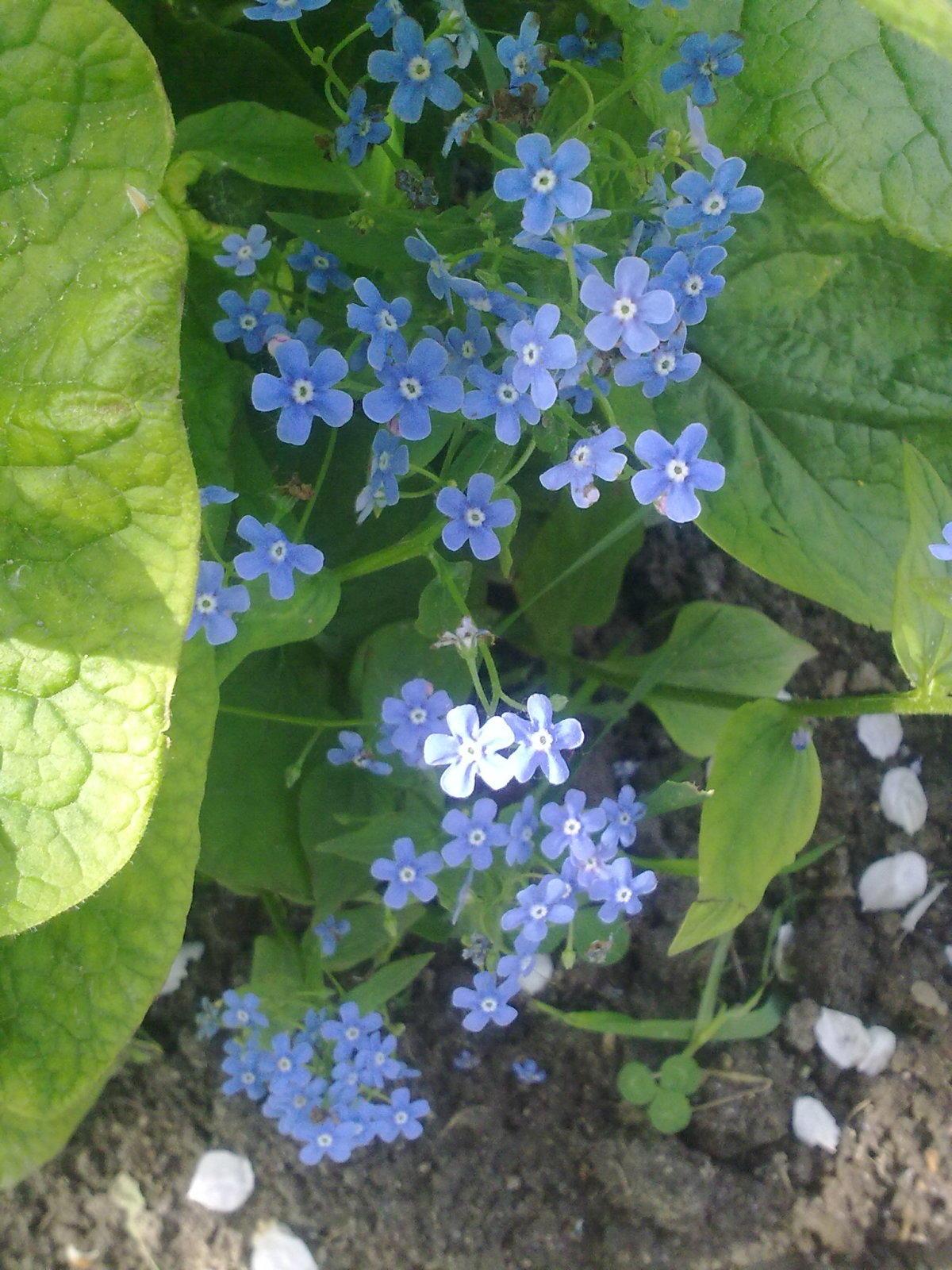 Незабудки: выращивание и уход 32