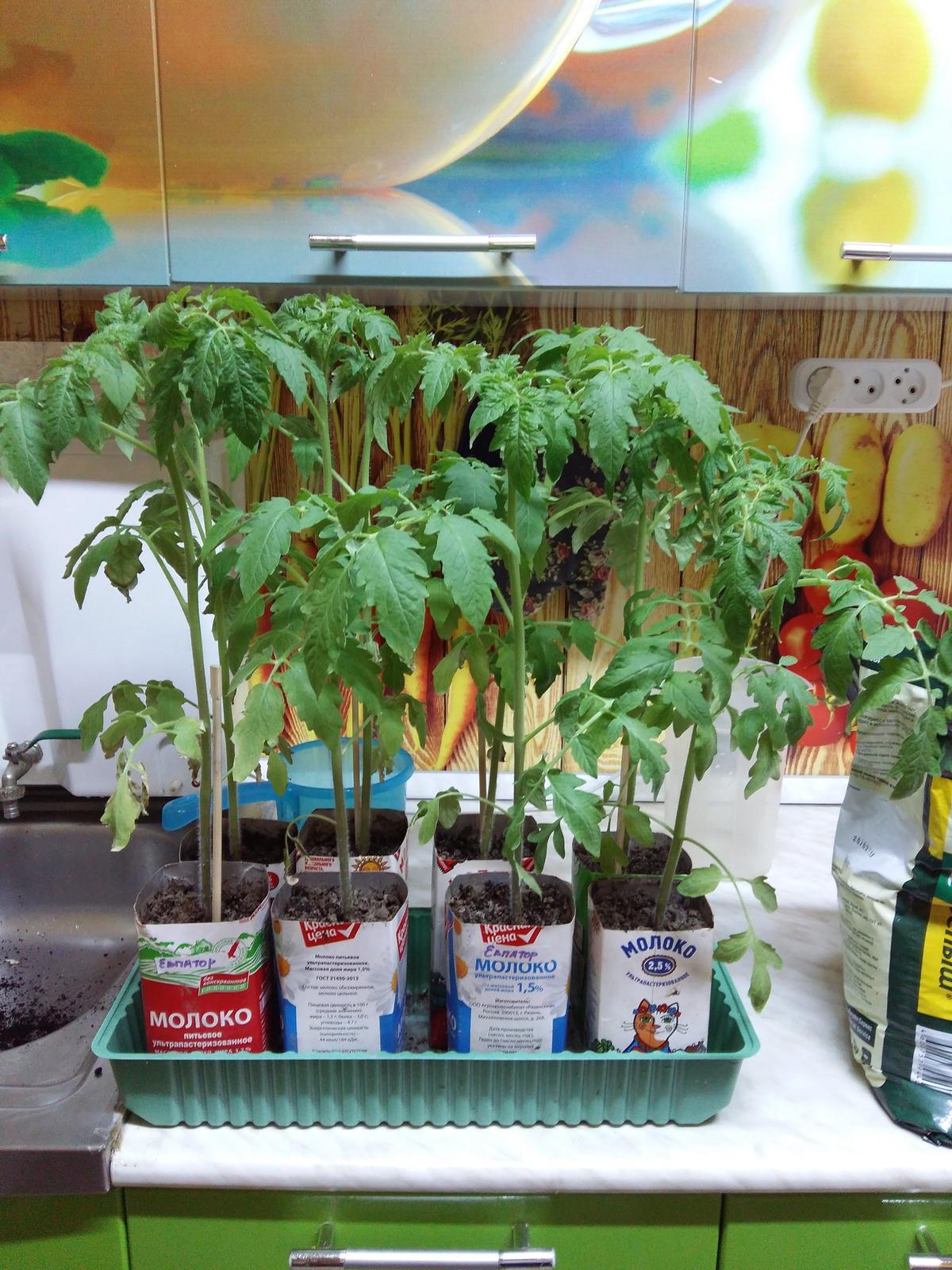 Почему сохнут листья у рассады помидор: проблемы выращивания 13