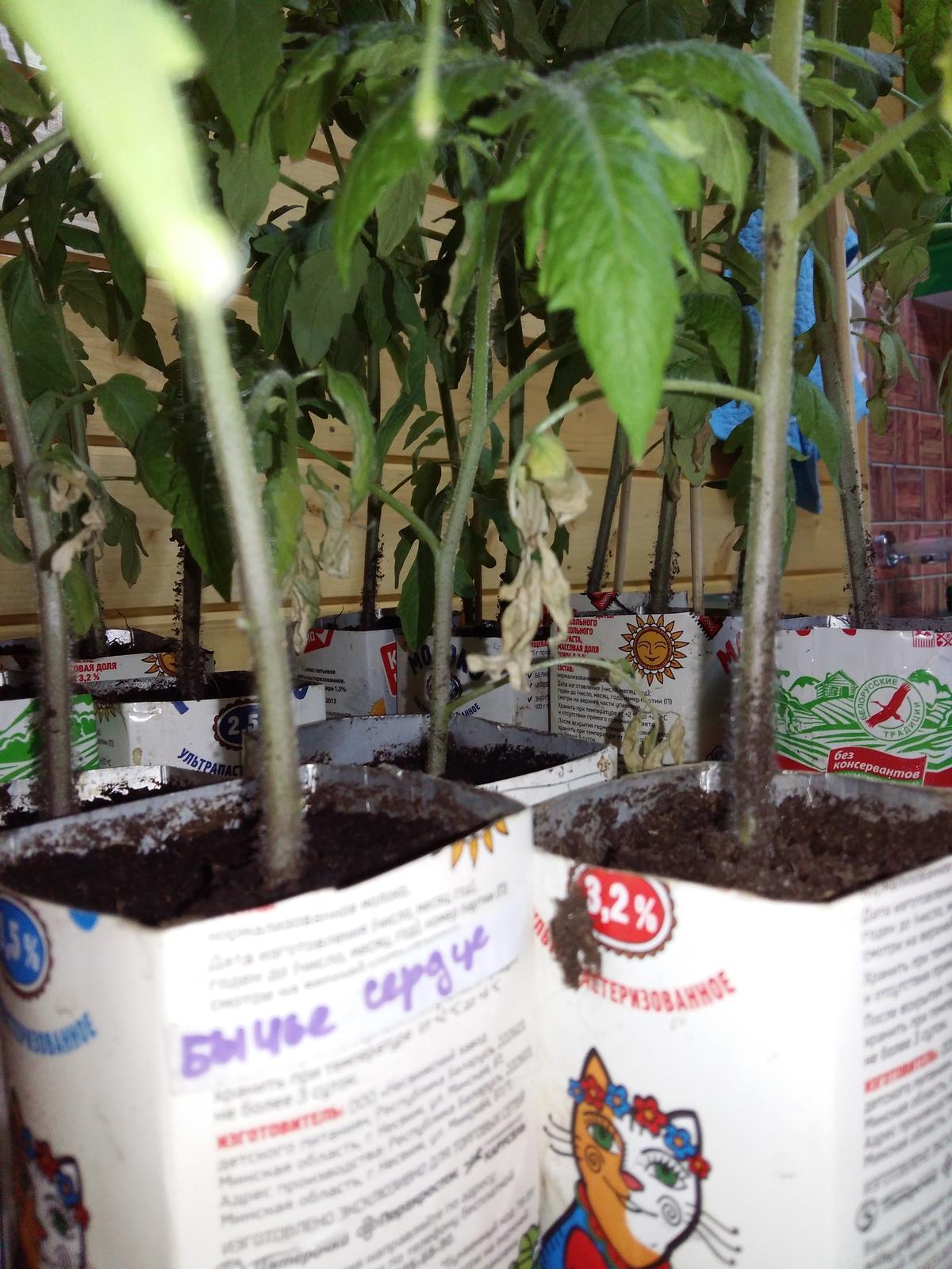 Почему сохнут листья у рассады помидор: проблемы выращивания 53