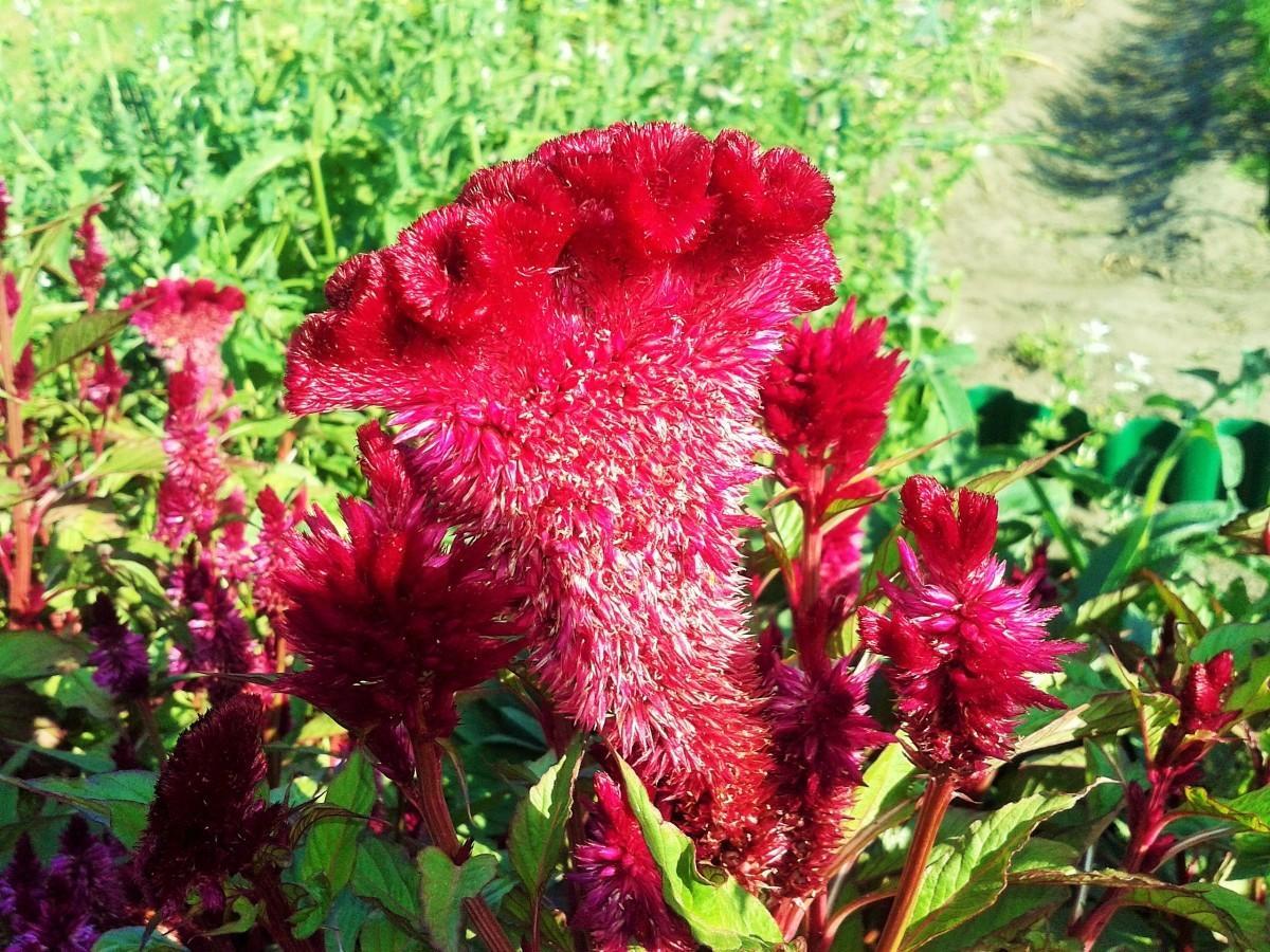 Цветы петухи