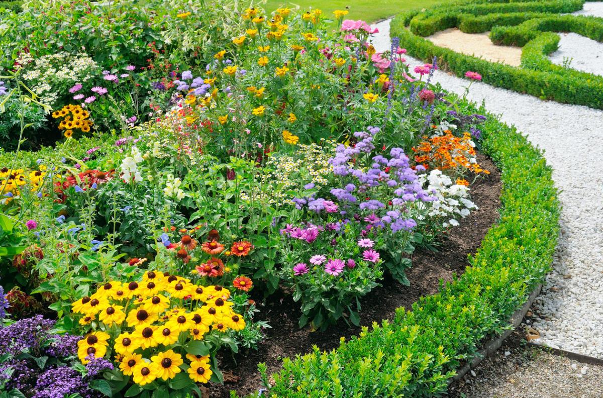 Рассада многолетних цветов для клумбы 65