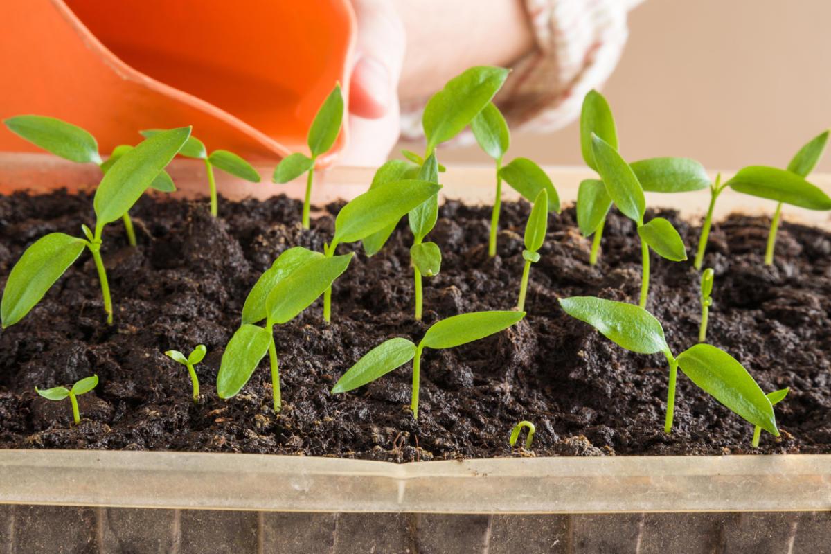 Выращивание перца болгарского в грунте 184