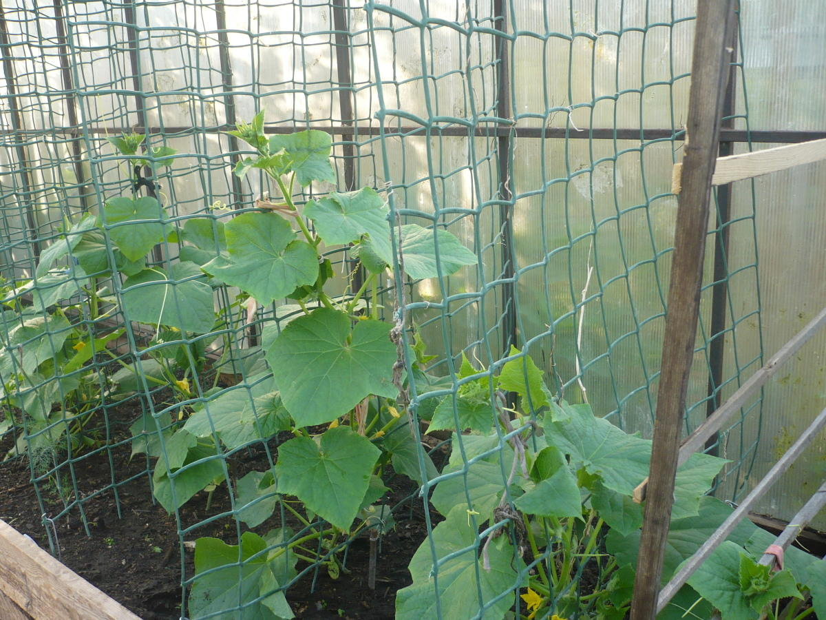 Выращивание огурцов на шпалер 910