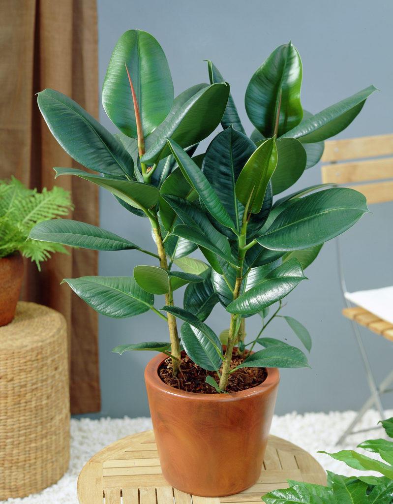 Комнатные растения фото и названия уход за фикусом в домашних условиях