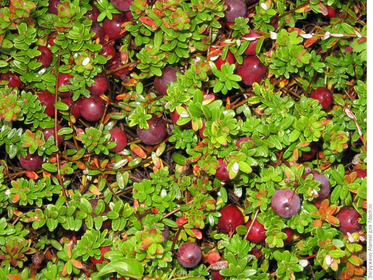 Клюква садовая : посадка и уход на дачном участке 91