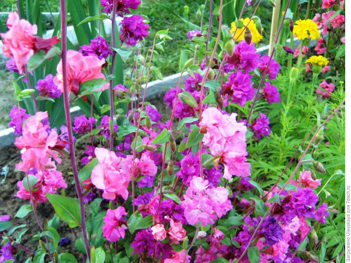 Цветы кларкия радость фото