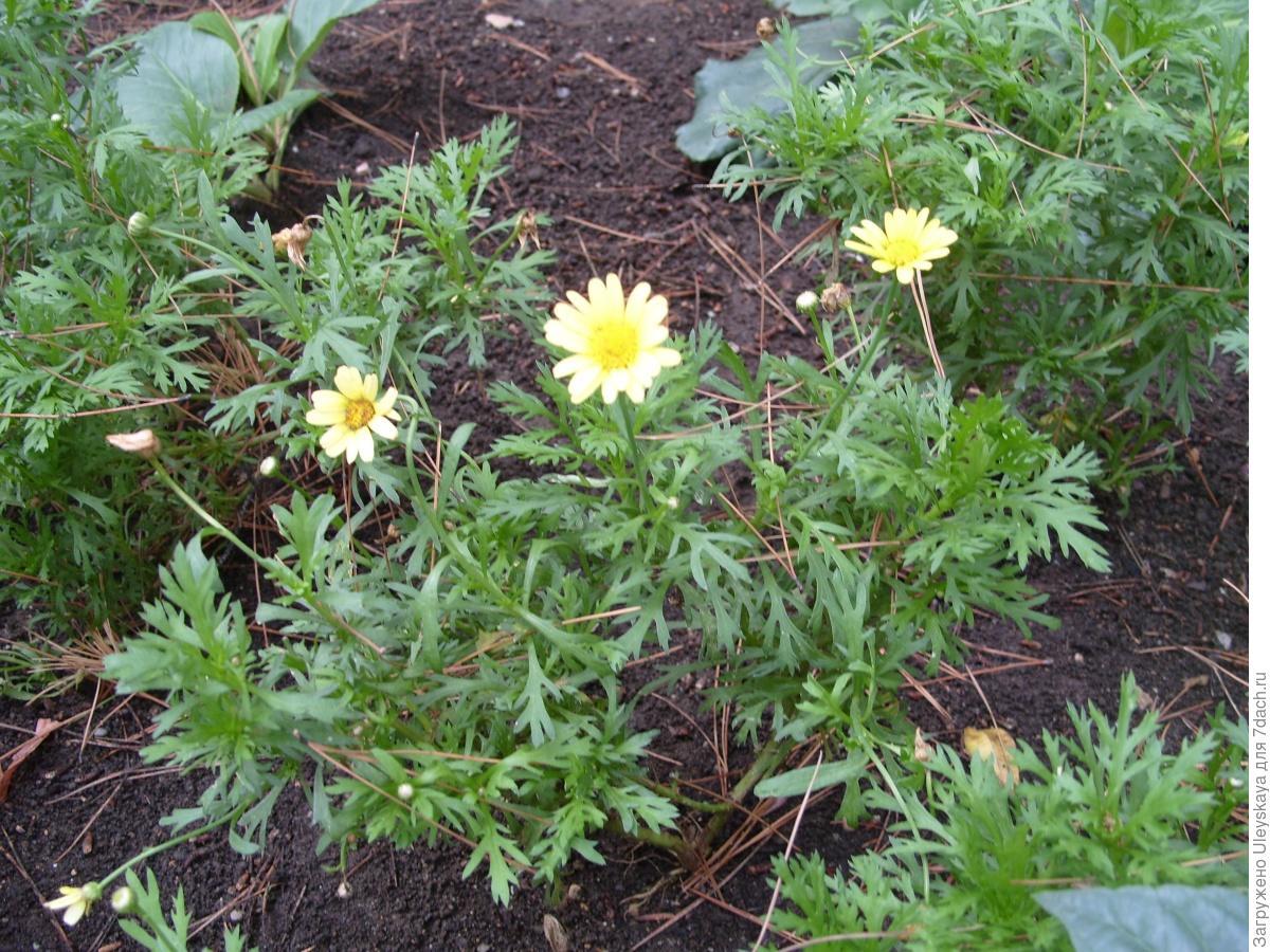 Овощная хризантема выращивание 40