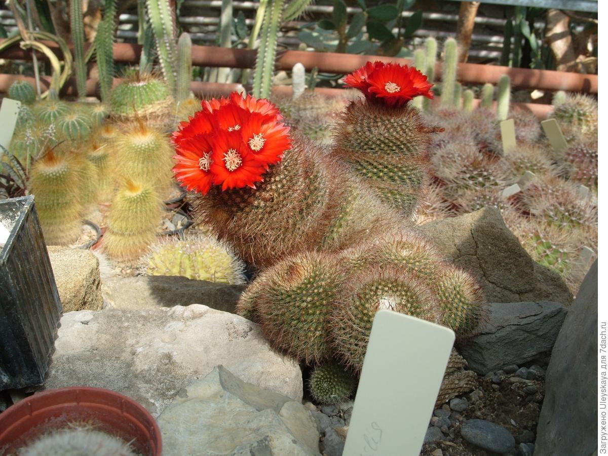 Цветение кактусов в домашних условиях: фото, как заставить 22