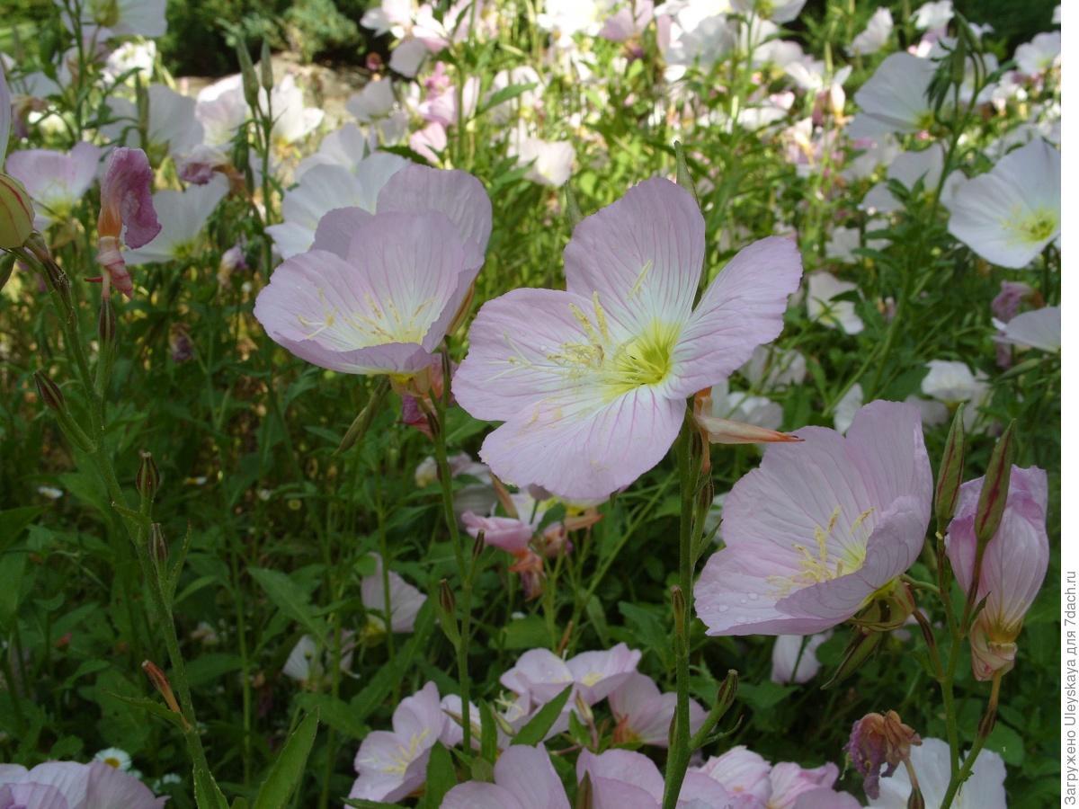 Выращивание энотера розовая 1