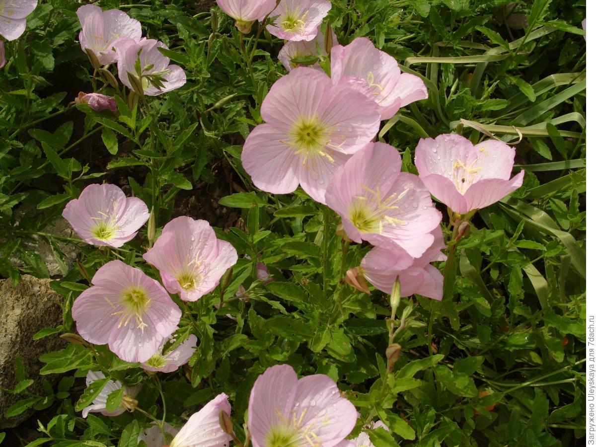 Выращивание энотера розовая 43