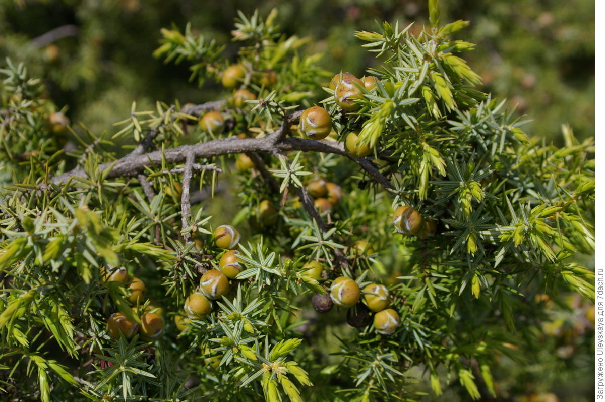 Как вырастить бонсай из семян дома, советы и инструкция