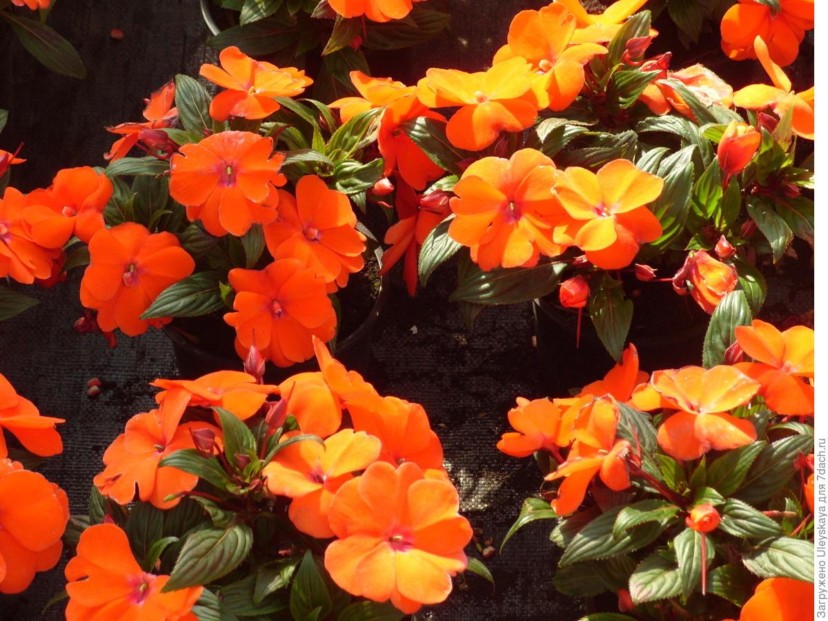 Бальзамин новогвинейский уход, фото Любимые цветы 99