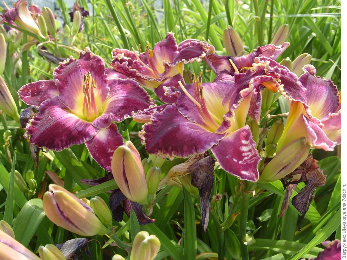 Цветок лилейник виды фото