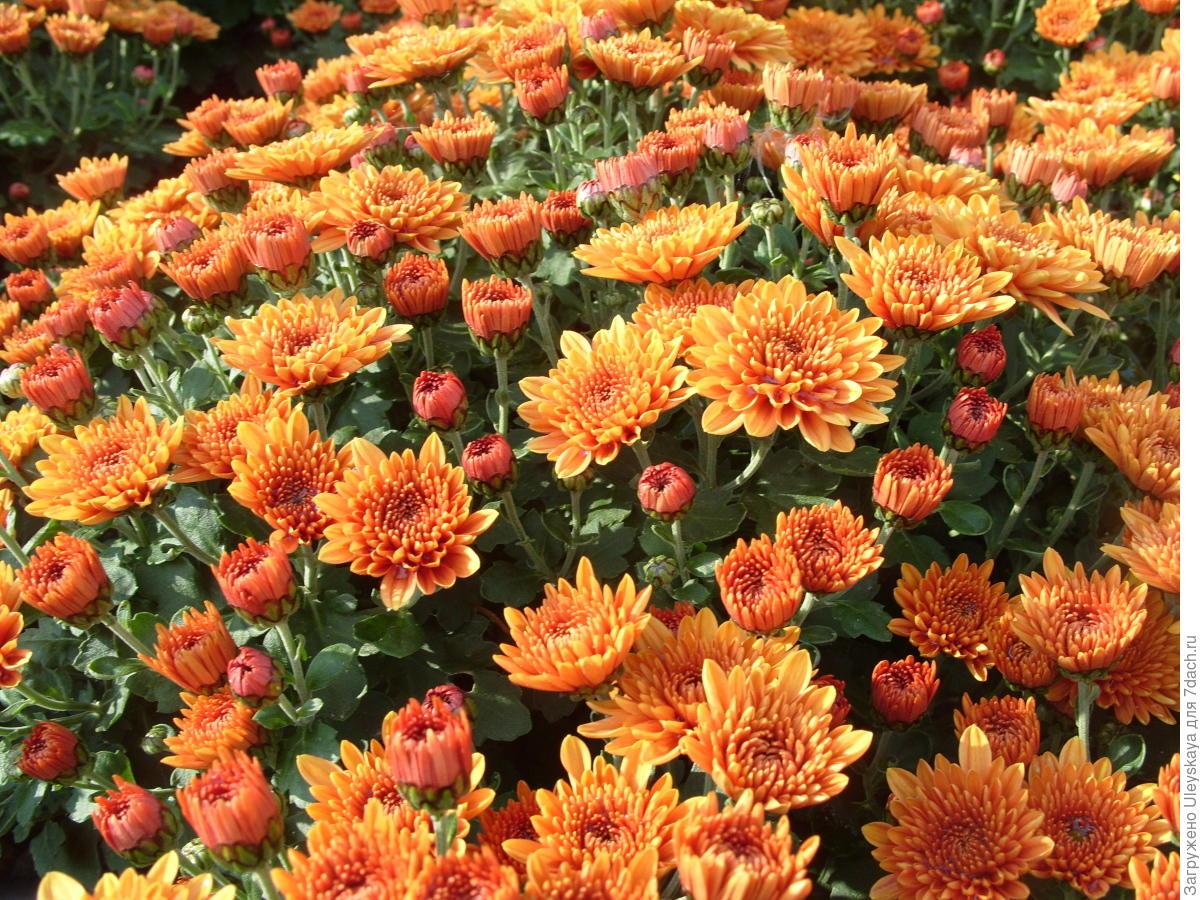 Многолетние цветы в июне фото