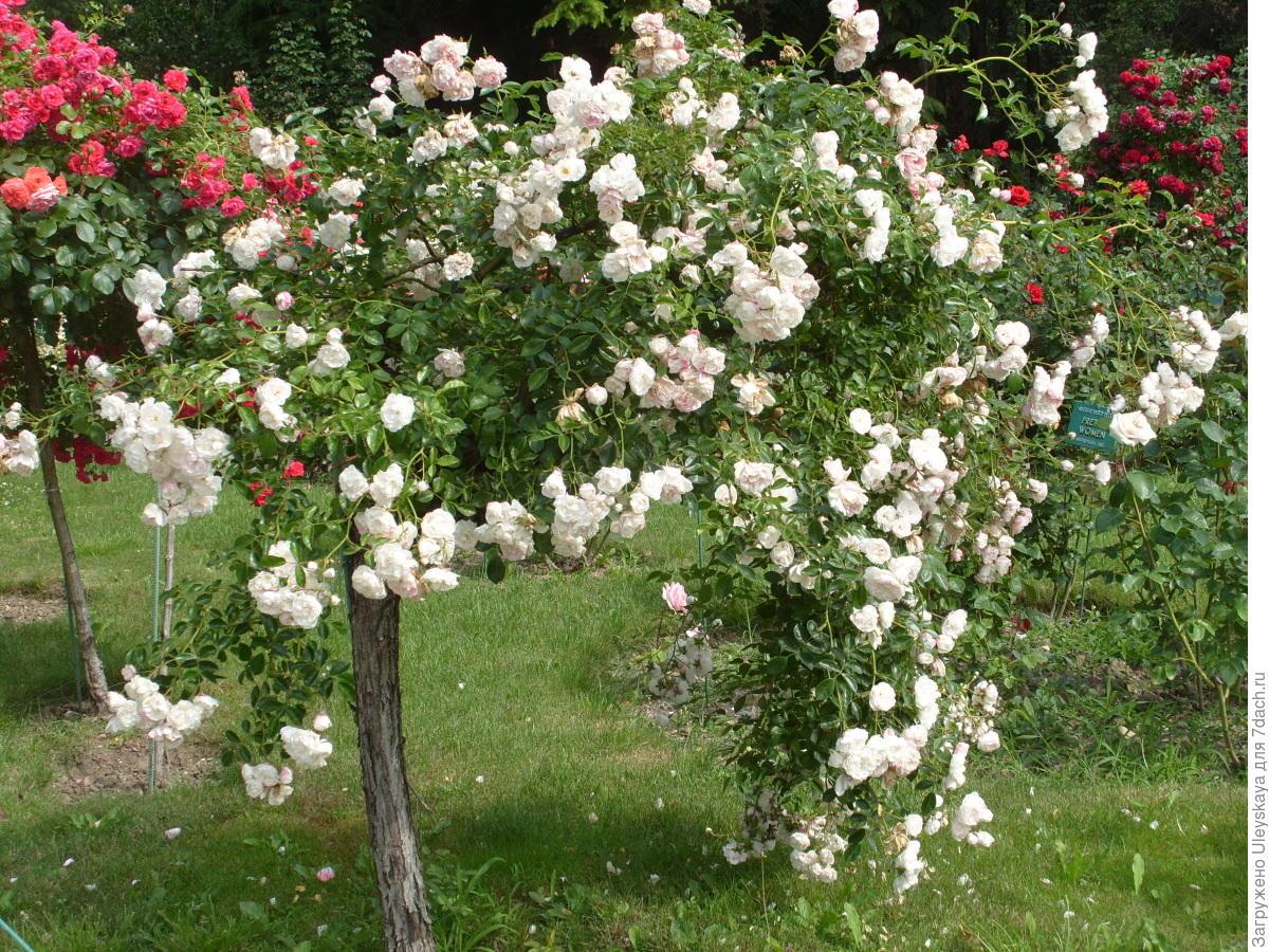 Штамбовые розы своими руками фото