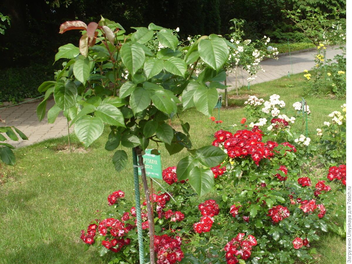Выращивание шиповника на розы 510
