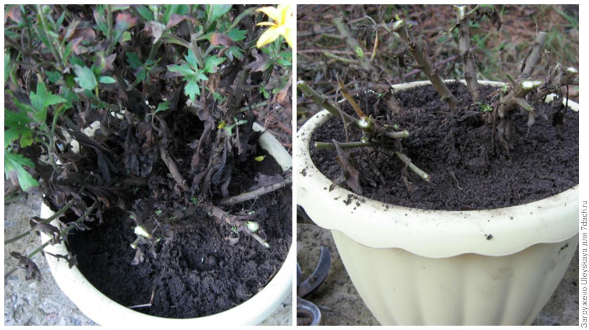 Обрезка хризантемы в горшке в домашних условиях 249