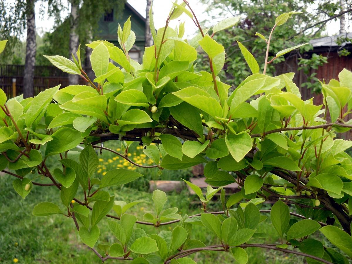 Лимонник китайский выращивание и 61