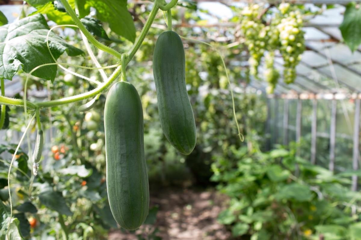 Огурцы секрет выращивания 10