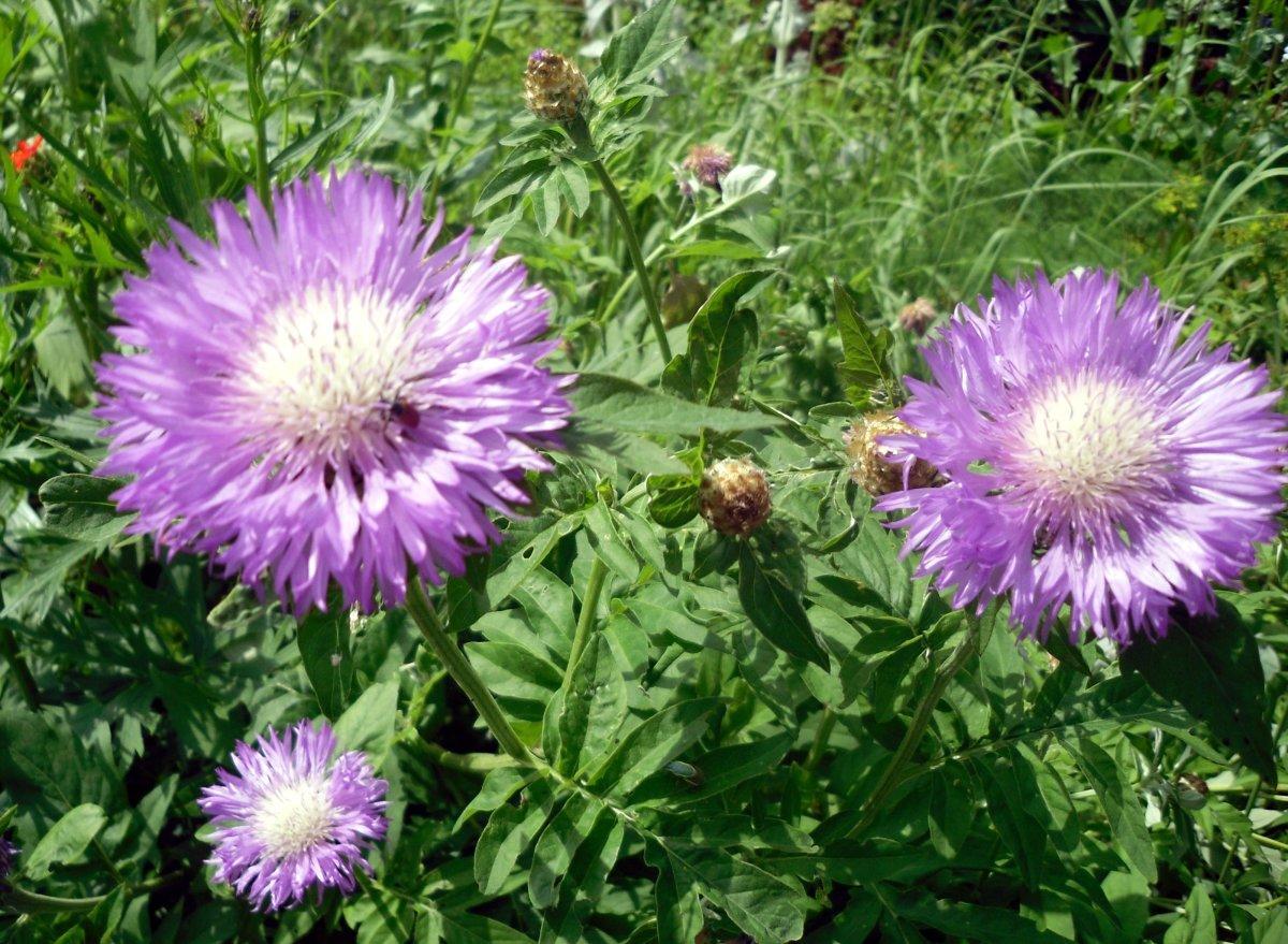Садовый цветок василек фото