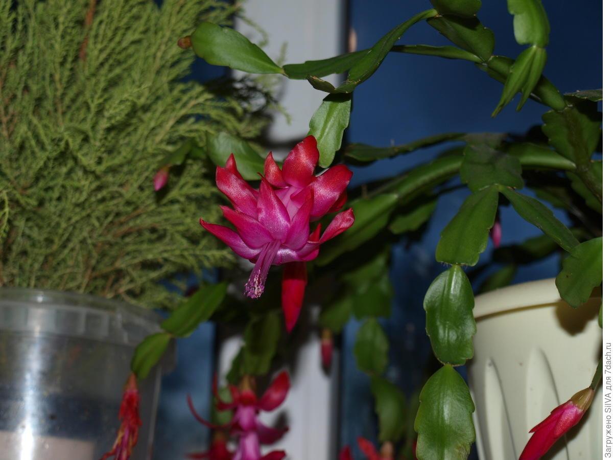 Декабрист цветок уход и размножение в домашних условиях 58