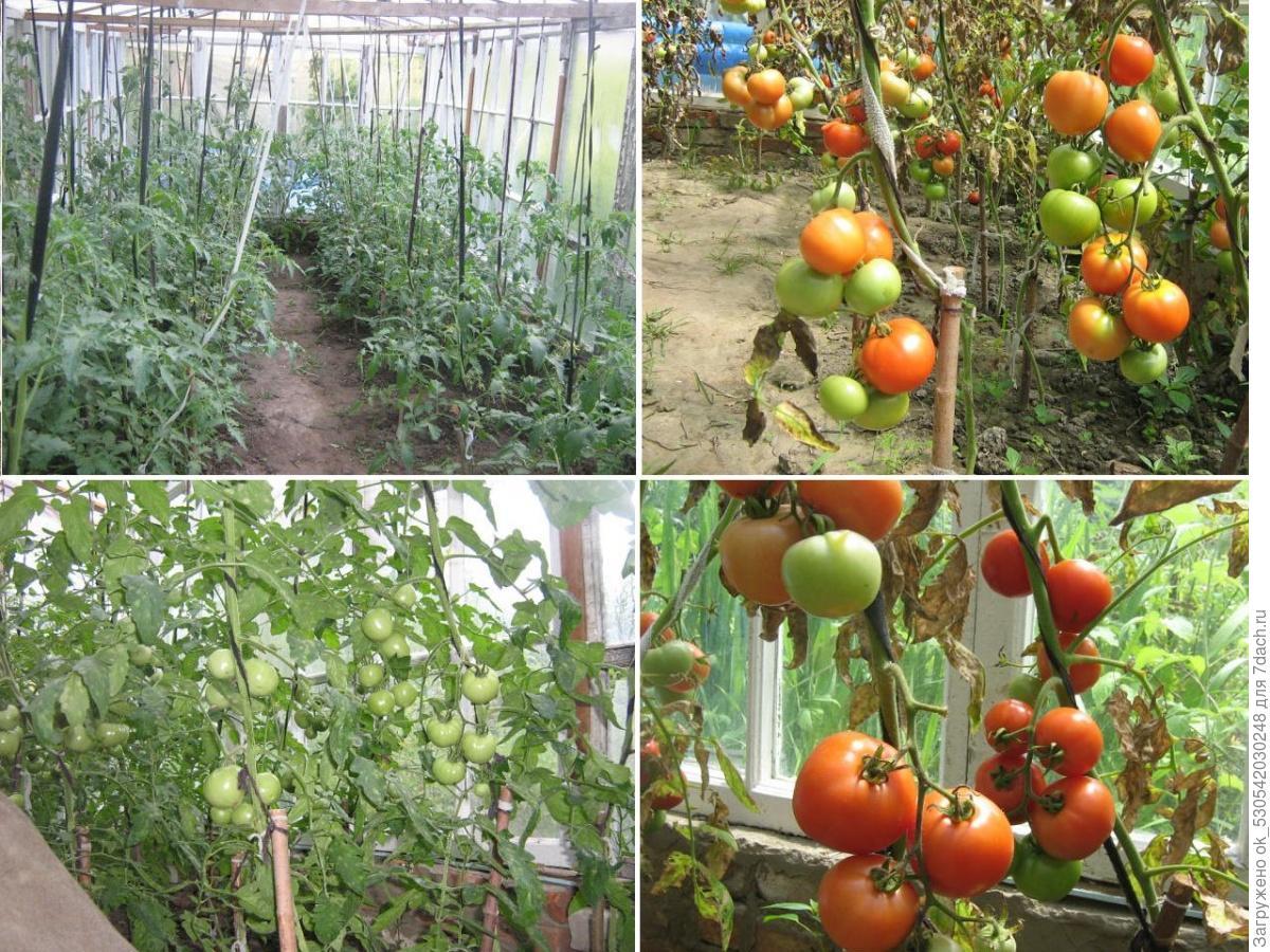 Выращивание томатов в теплице зимой 84