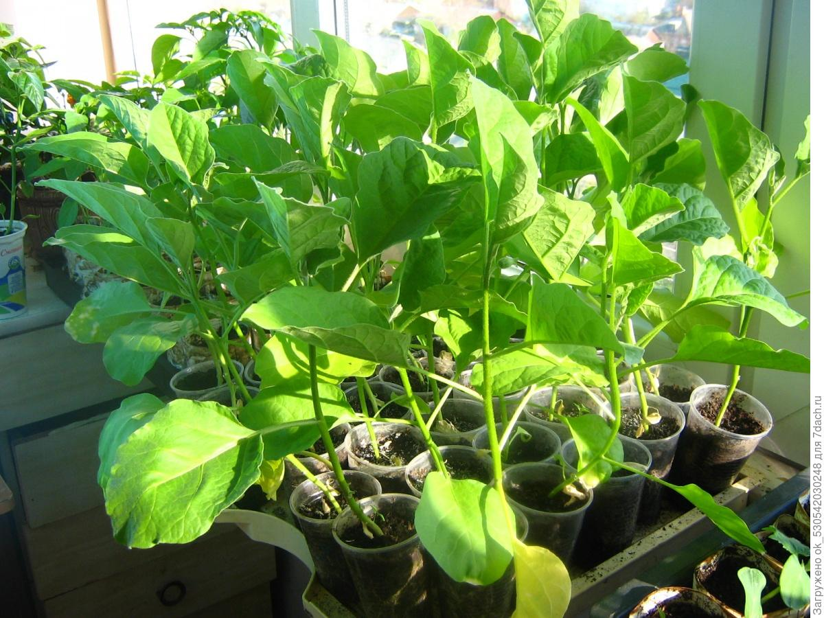 Как правильно выращивать баклажаны в домашних условиях