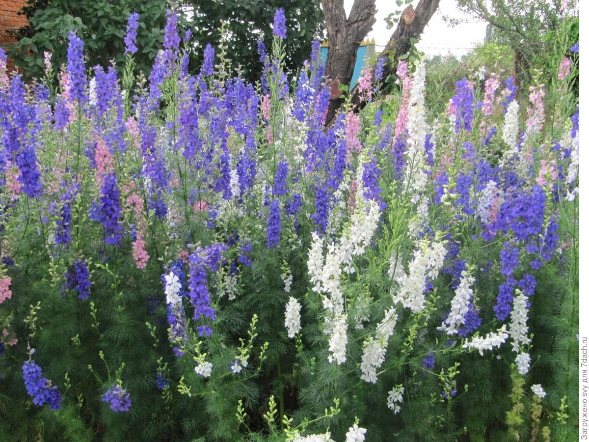 Дельфиниум однолетний фото цветов