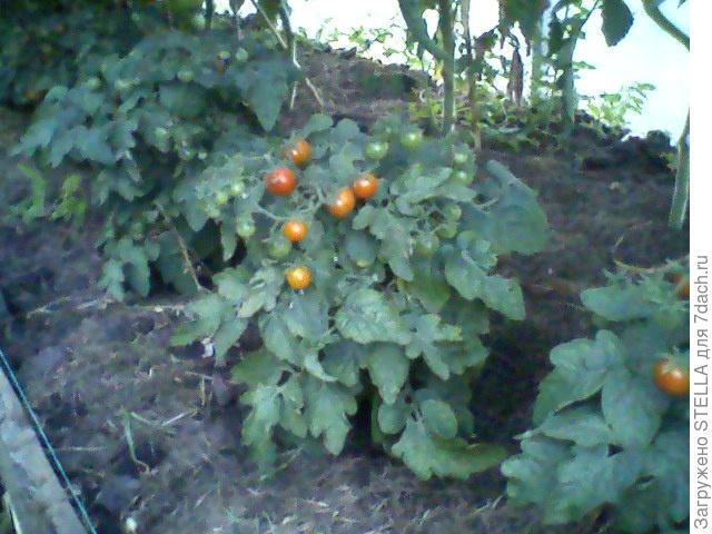 Балконное чудо помидоры выращивание в теплице 76
