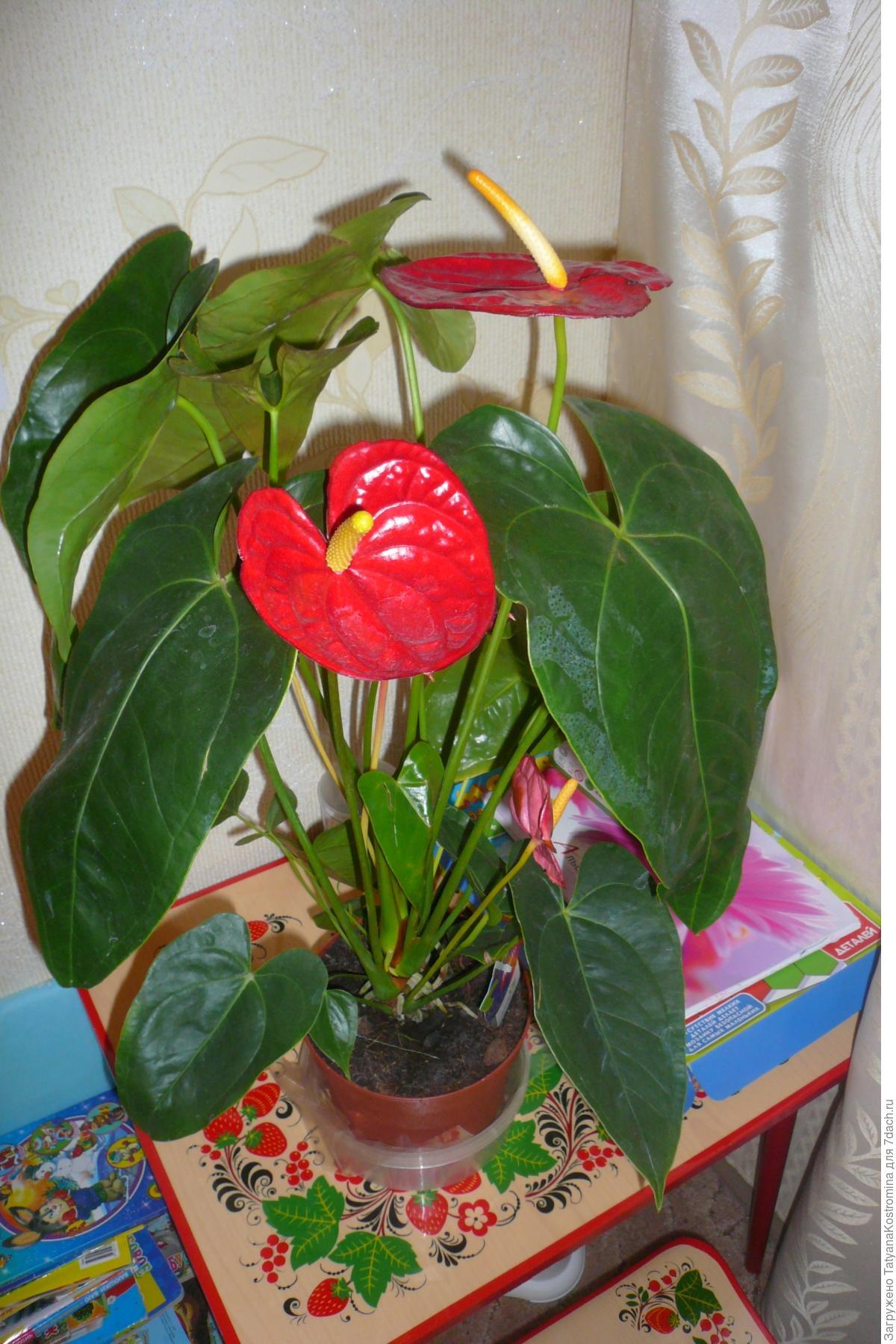 Красные восковые цветы