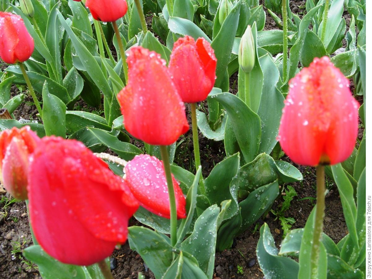 Как вырастить тюльпаны из семян в домашних условиях? 53