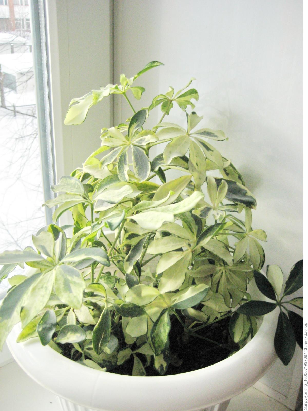 Шефлера цветок уход в домашних условиях пересадка и 51
