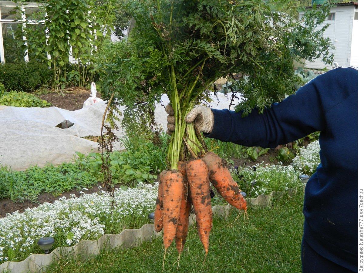 Морковь: выращивание, посадка и уход. Сорта моркови 18