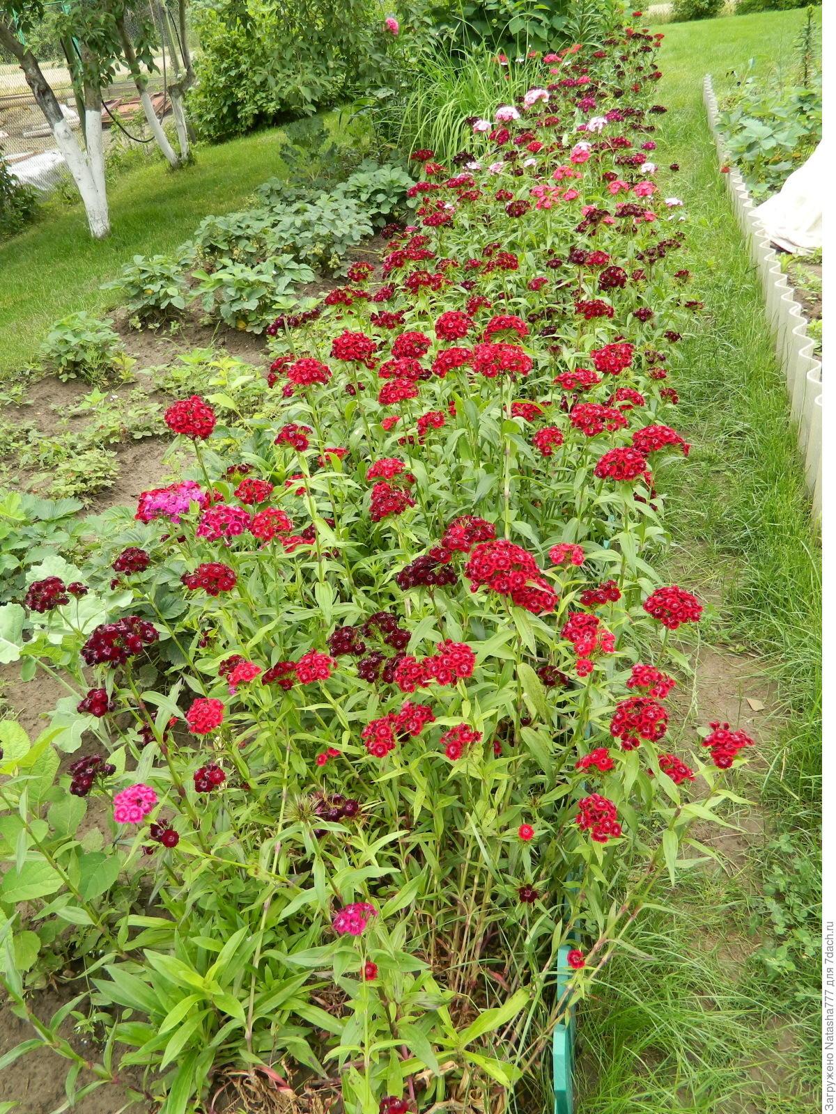 Сажать гвоздику семенами осенью 32