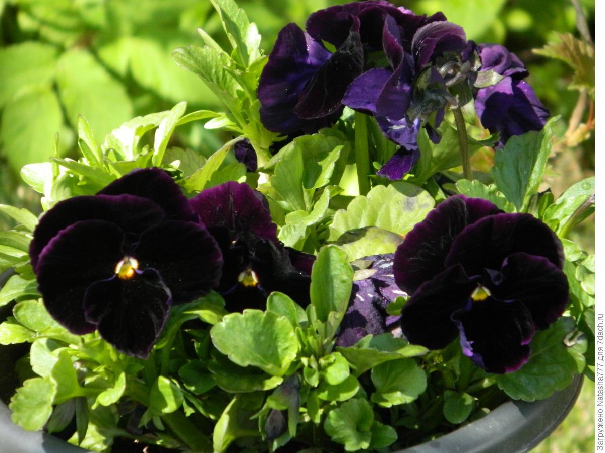 Виола фото цветов рассада когда сажать