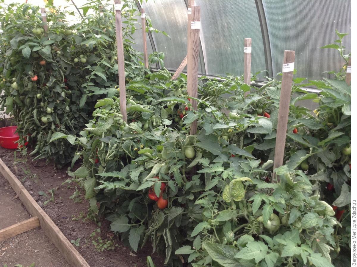 Выращивание томатов в низких парниках на садовом 67