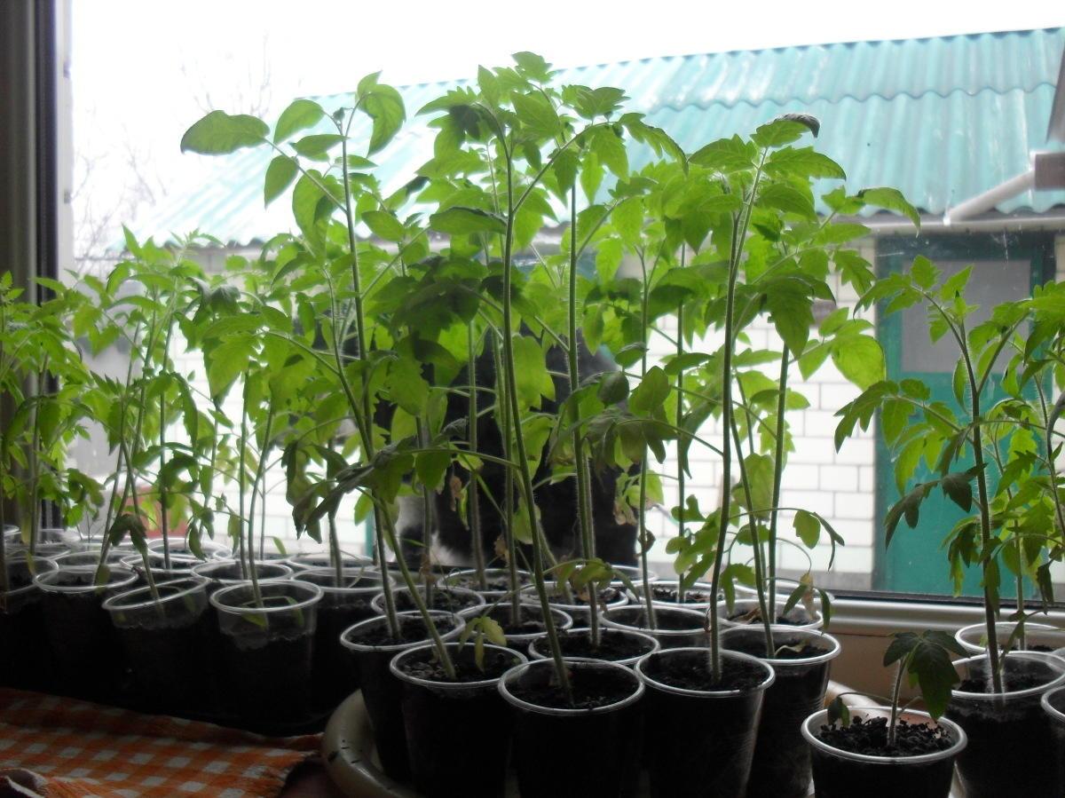 Чем полить рассаду помидор и