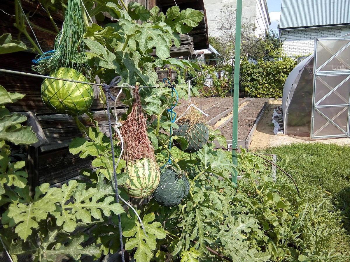 Технология выращивания арбуза в открытом грунте 12
