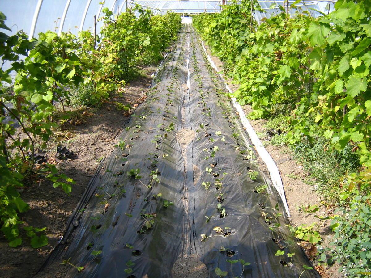 Как посадить помидоры под пленку 36