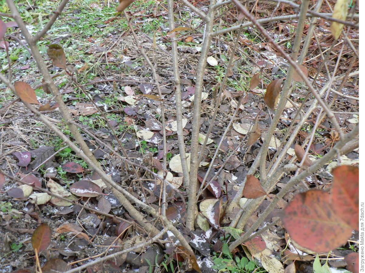 Когда посадить рябину: весной или 19