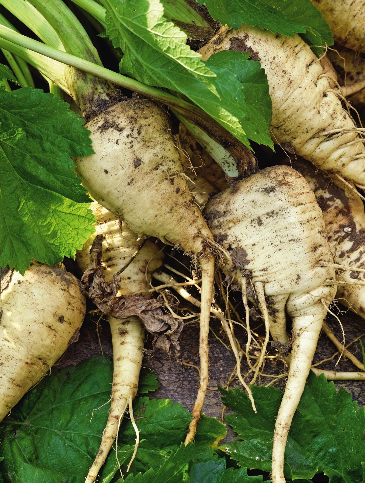 Пастернак овощ выращивание 70