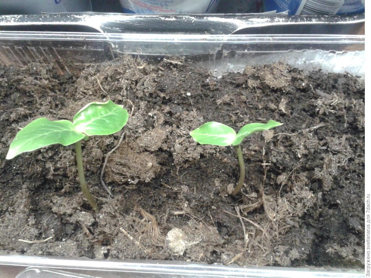 Ранункулюс: посадка и уход в открытом грунте, выращивание 58
