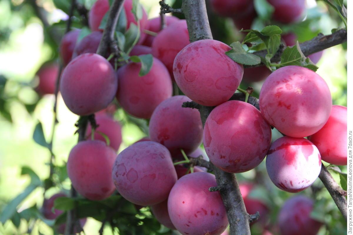 Выращивание алычи в сибири 72